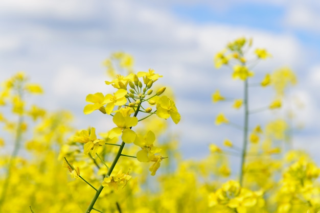 Flowering rapeseed field against the sky