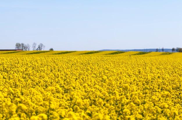 Цветущий рапс с множеством желтых цветов