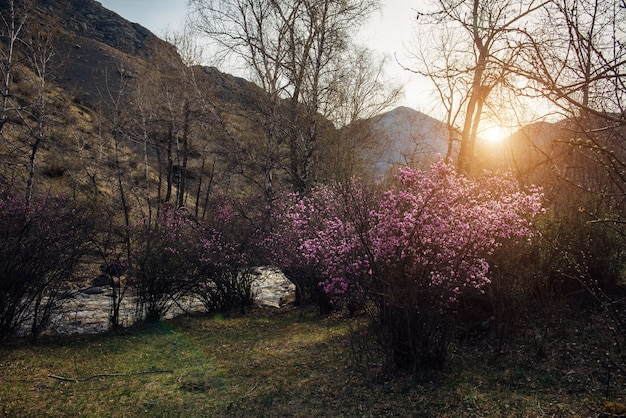 Flowering rhododendron bushes with pink flowers on the background of mountains, small river and rising sun. spring sunset landscape.