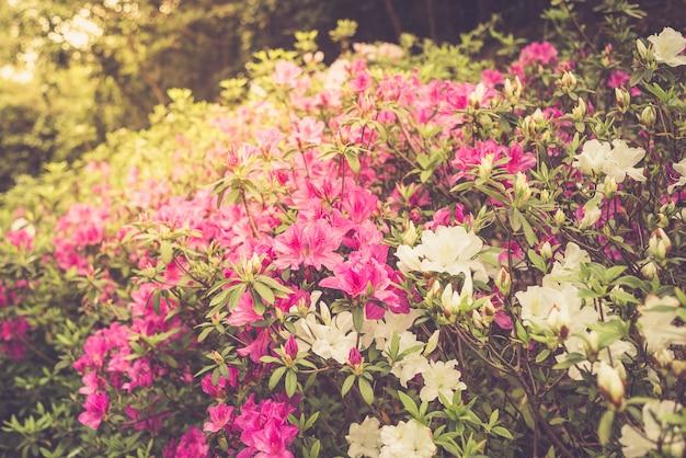 Flowering rhododendron in hong kong. spring, bloom, flowers theme. toning.