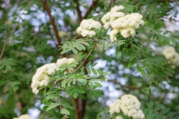 Цветущая рябина. красивые цветущие деревья. весной цветут деревья. цветущее садовое дерево.