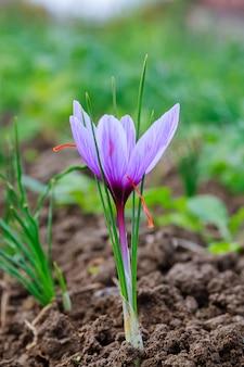 꽃이 만발한 사프란 식물. 가장 비싼 향신료를 위해 크로커스 꽃을 수확합니다. 보라색 크로커스 꽃.