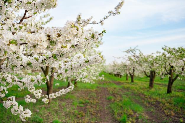 Цветущие весенние деревья. аромат цветов в саду. ароматерапия. красота природы.