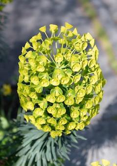 녹색 꽃 자연 배경, 유포비아 카라시아스가 있는 꽃이 만발한 식물.