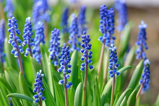 화창한 봄 날에 꽃이 피는 줄기 muscari 또는 마우스 히아신스