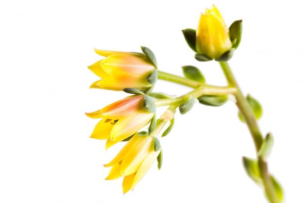 Цветущие сочные echeveria на белом изолированные