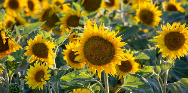 Flowering sunflower caps on the field.