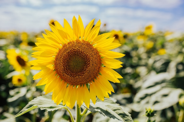 ひまわり畑にひまわりを開花。ひまわりのクローズアップ。