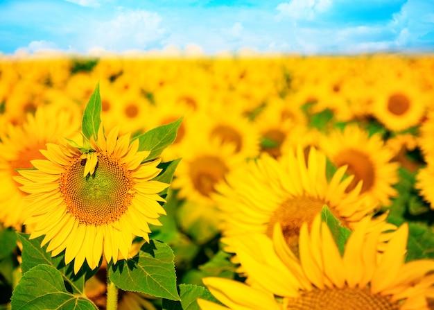 フィールドでヒマワリを開花