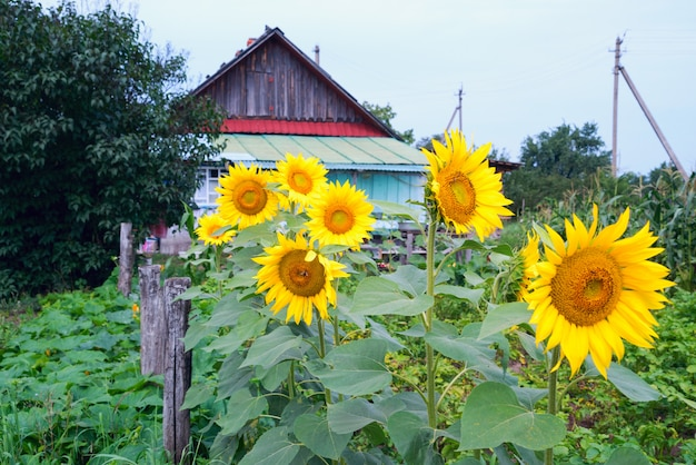 Flowering sunflowers in the garden near the wooden house in the village.