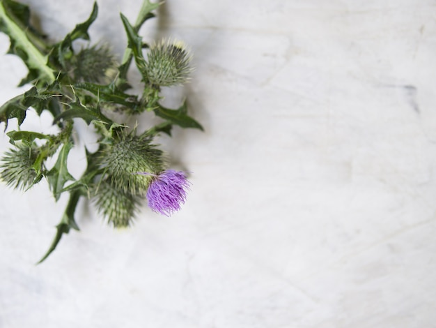 Flowering thistle on gray background. flat lay, top view, close up. artwork mockup with copy space