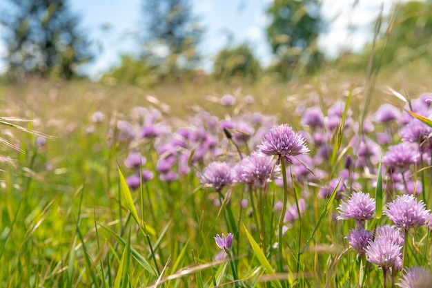 Flowering thistles on a green field.