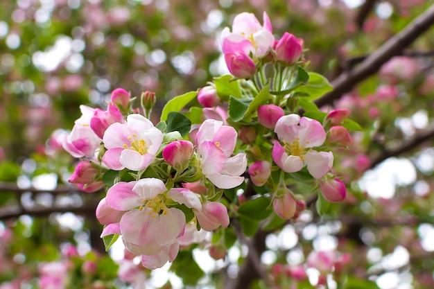 Цветущее дерево весна яблоко вишня сакура бутоны
