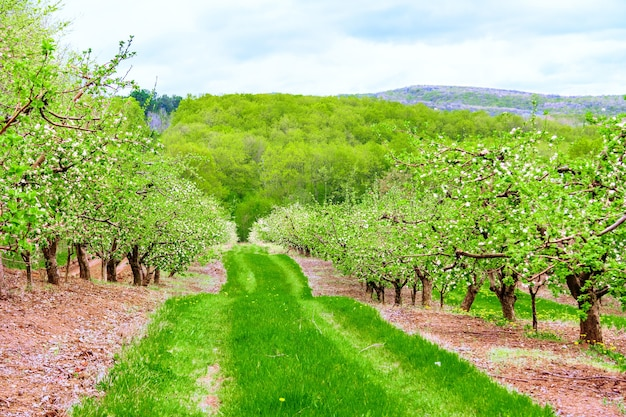 Цветущие деревья в яблоневом саду, расположенном на склоне холма