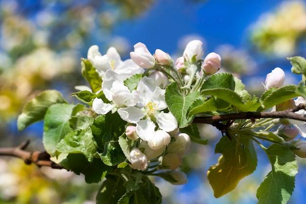 春の果樹園の開花木