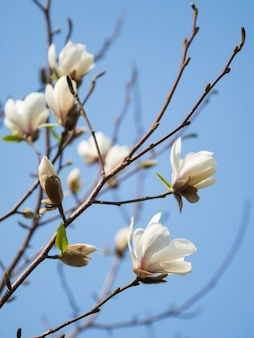 Flowering white magnolia against the blue sky. spring flower background. the first primroses in the spring sun.