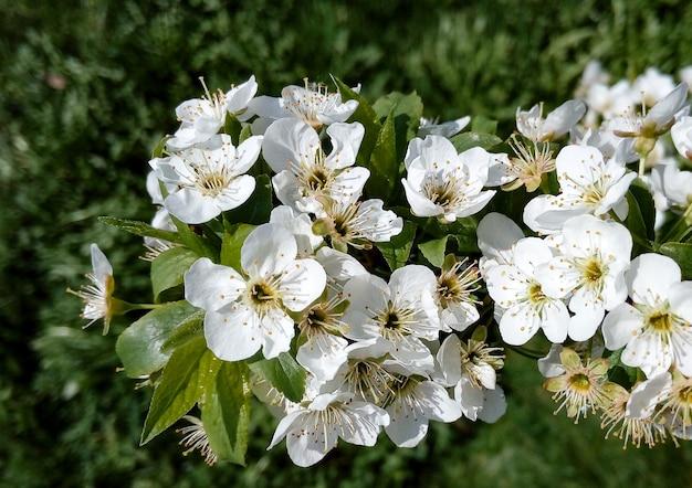 Цветущая белая спирея в весеннем саду