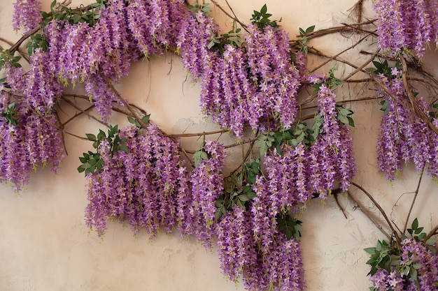 Flowering wisteria plants on house wall.