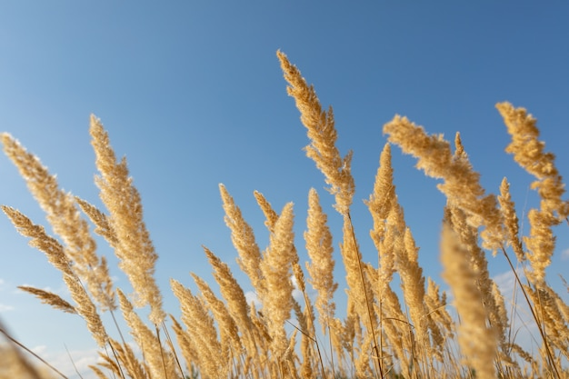 Flowering wood small-reed calamagrostis epigejos against the blue sky