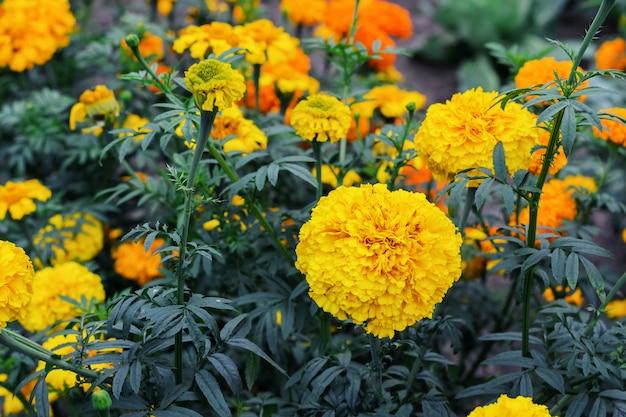 Flowering yellow flowers marigolds in summer garden