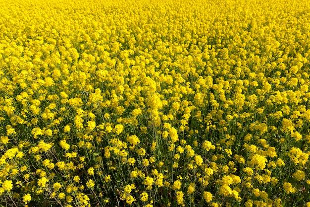 Цветущие желтые цветы весенний рапс на сельскохозяйственном поле