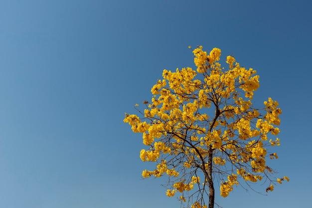 Flowering yellow ipe tree with blue sky. space to text