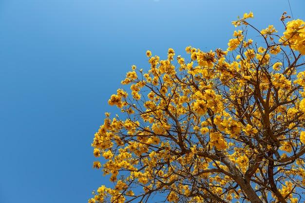 Flowering yellow ipe tree with blue sky