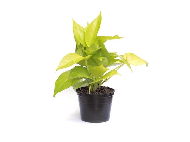 겉 식물의 화분 흰색 배경 위에 황금 pothos입니다. 자연 잎 심장 모양입니다.