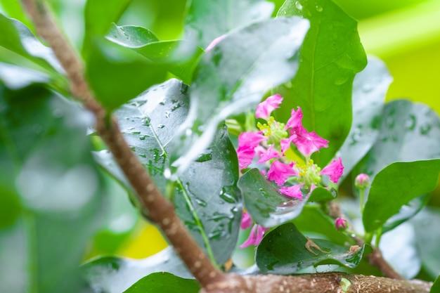 Flowers of acerola cherry,  thailand,  select  focus, barbados cherry, malpighia emarginat