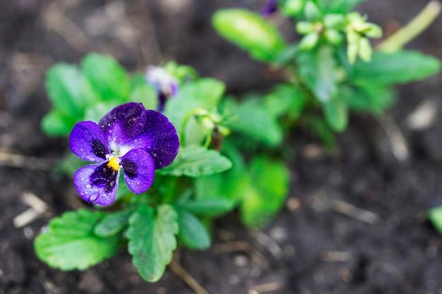 화단 배경에 비가 온 후 비올라 삼색의 꽃과 꽃봉오리.