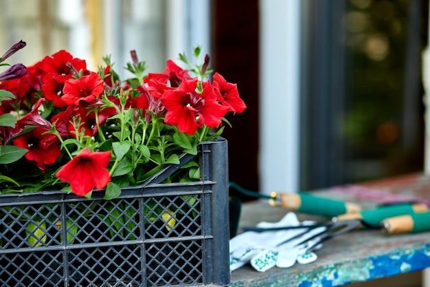 木製の背景に花とガーデニングツール。バスケットと園芸用品のペチュニア。春の庭の作品のコンセプト。コピースペース