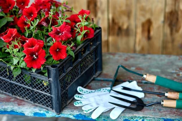 木製の背景に花とガーデニングツール。バスケットと庭の設備のペチュニア。春の庭の作品のコンセプト。コピースペース