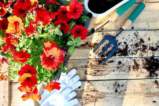 꽃과 나무 바탕에 원 예 도구입니다. 바구니와 정원 장비에 피튜니아. 봄 정원 작품 개념.