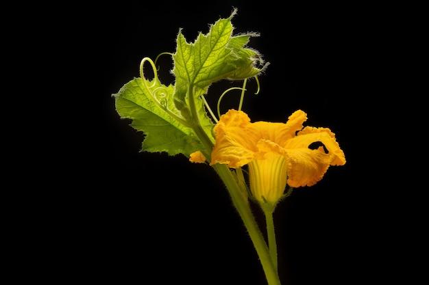 Цветы и листья тыквы