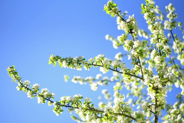Flowers of the apple blossoms on a spring day on blue sky.