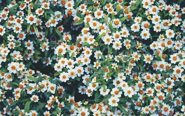 Flowers blossom, many white daisies in top view of meadow