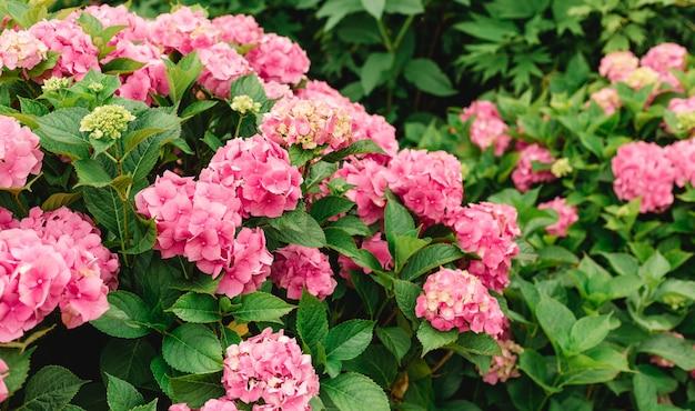 晴れた日に花が咲きます。開花オルテンシア植物。庭に春夏に咲くピンクのアジサイ。