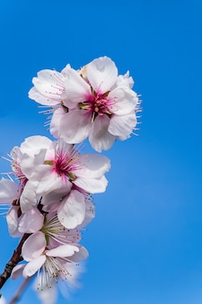 Flowers of blossoming almond plant in early spring.