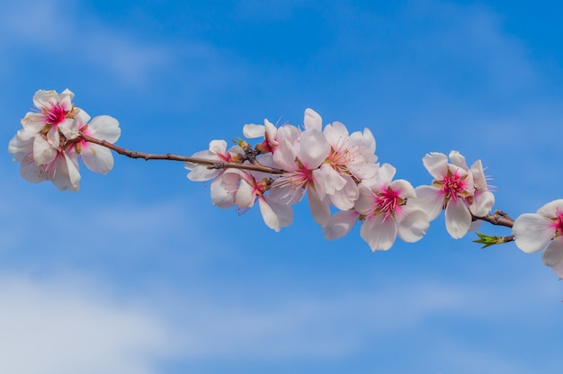 Flowers of blossoming almond plant in early spring
