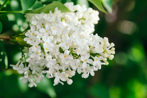 Flowers and buds of lilac blooming on branch