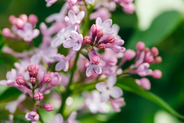 Flowers and buds of purple lilac blooming on branch