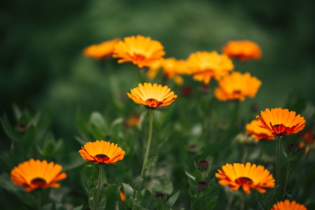 Цветы календулы в саду
