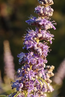 Flowers of chaste tree vitex agnus-castus,