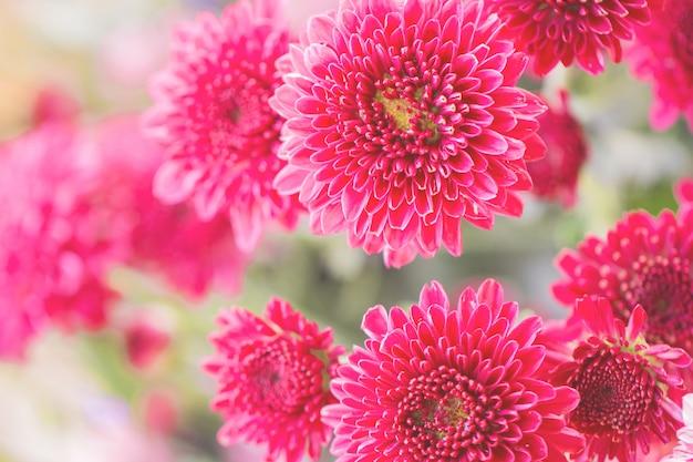Flowers chrysanthemum for background