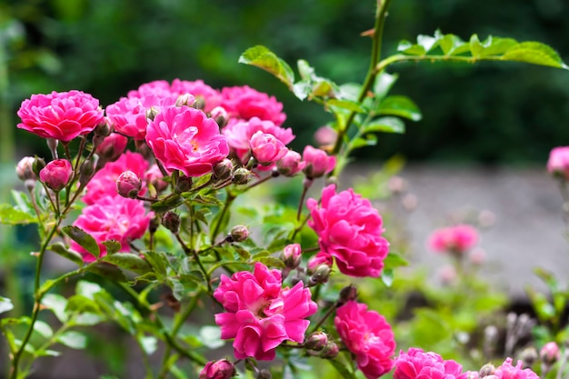 Flowers of climbing roses in nature