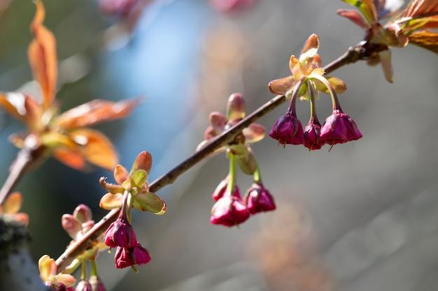 Цветы. крупный план. розовые бутоны на ветке дерева. цветочный фон привет весна.
