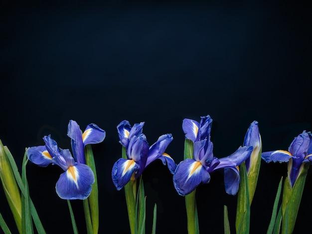 파란색 배경 발렌타인 데이 어머니의 날에 창포 꽃으로 만든 꽃 구성 프레임 및