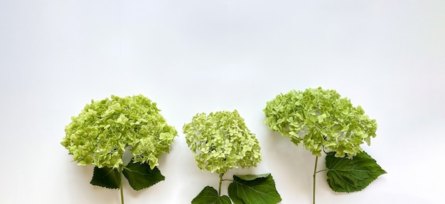 白い背景の上の緑のアジサイの花からの花の構成。あなたのプロジェクトのための春、夏のテンプレート。フラットレイ、コピースペース。