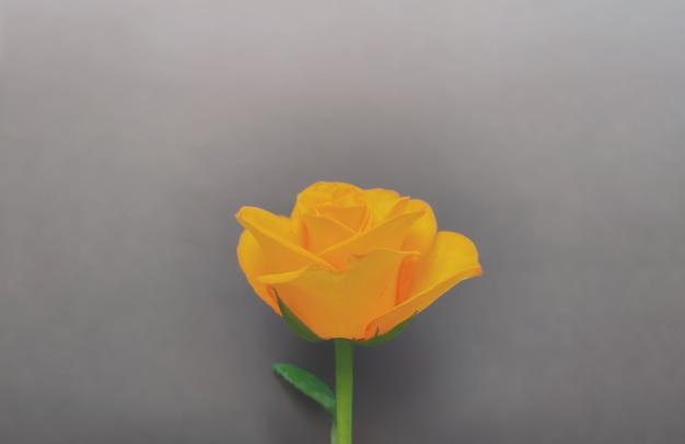 Композиция из цветов желтой розы на цвете 2021 года ultimate grey. весенний, летний шаблон для ваших проектов. плоская планировка, копия пространства.