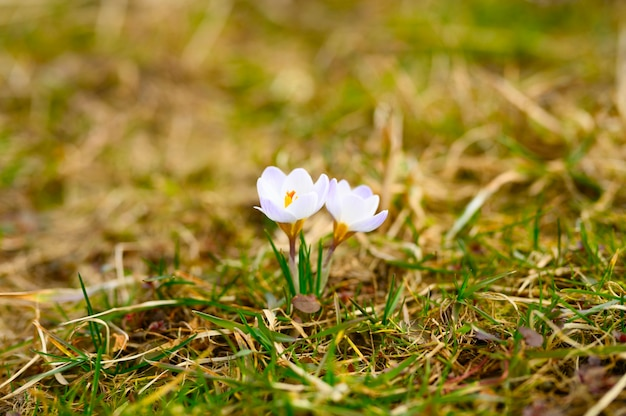 Flowers crocuses in full blossom, white lilac color, grow on the withered grass.